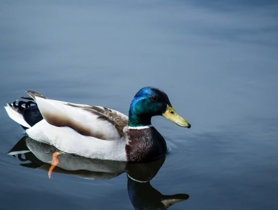 Lame Duck Stimulus and Election